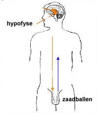 secretion of hormones