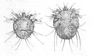 the scabies mite